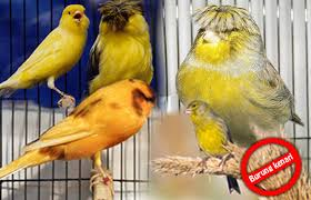 Burung Kenari - Solusi Penangkaran Burung Kenari -  Kode Ring Kenari Import Pada Negara Peru