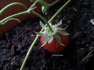 Une fraise prête à être dégustée!
