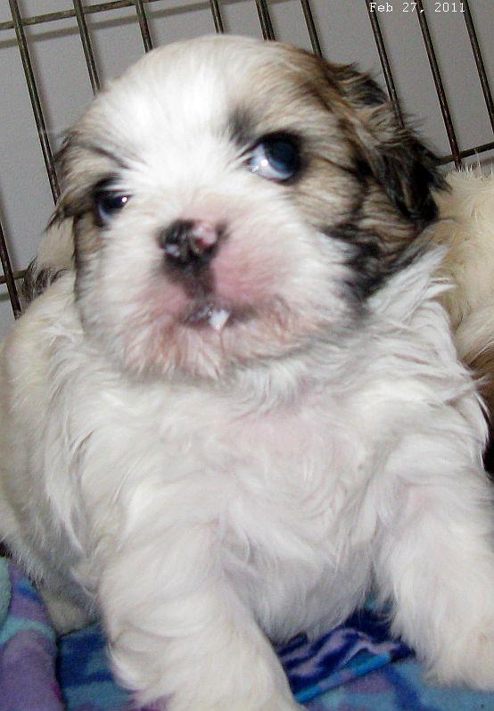 White Lhasa Apso Puppy Desktop Background