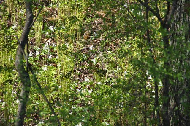 hillside of trillium