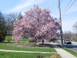 PICS FROM PAST WEEKS: Clifton's Flowering Trees