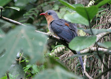 Red-billed Malkoha_2011
