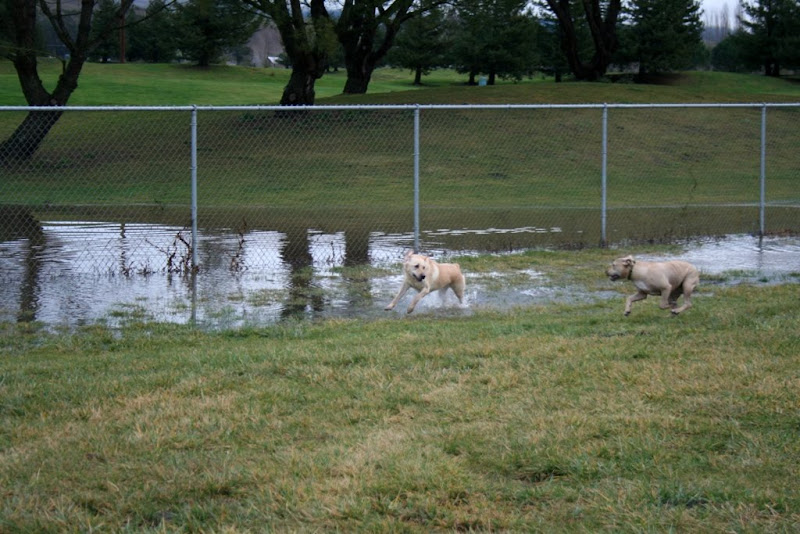 cabana running back through puddle in other direction, chloe runs alongside but not in the water, she keeps to the dryer grass