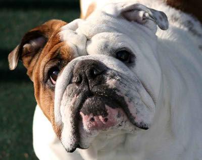 Bulldogs ingleses adultos para la venta
