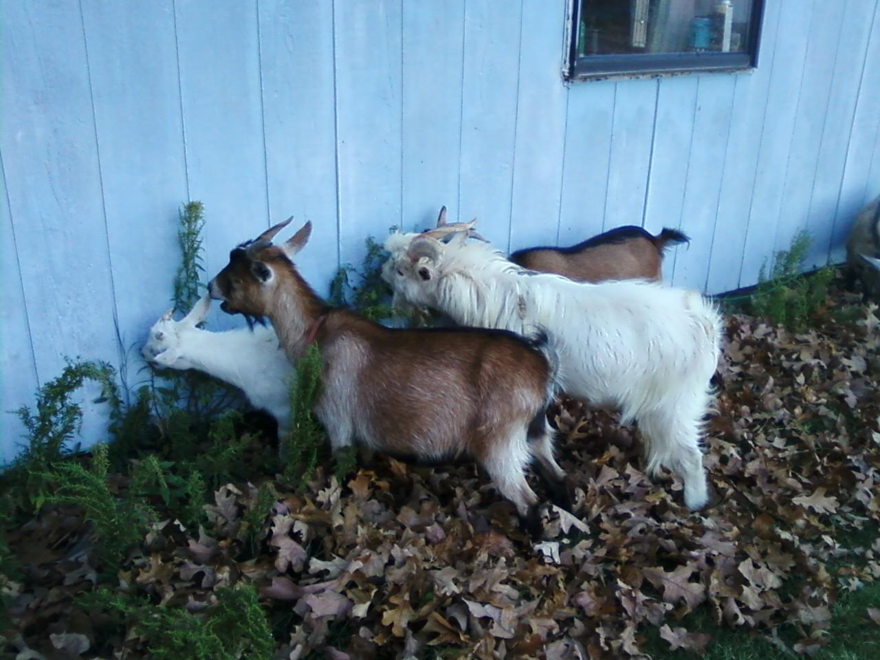 Y Not Goat Fools Rush In: ALL ABO...