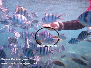 ikan abudefduf karimun jawa
