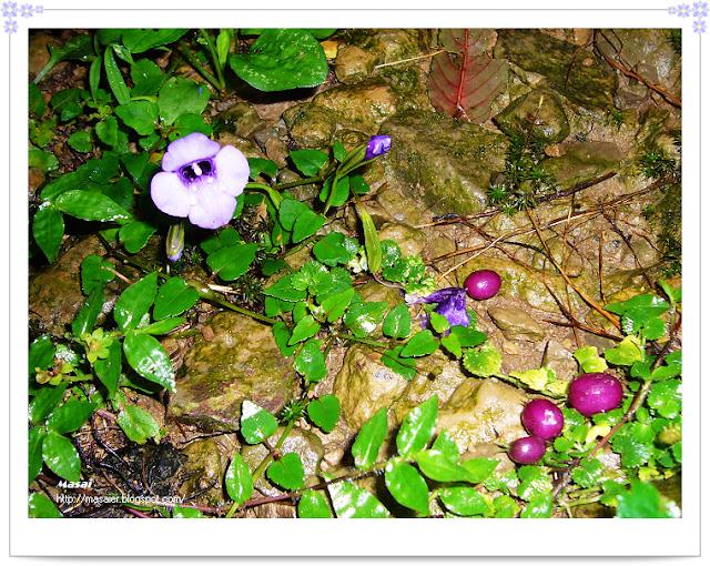 新竹山上人家-野莓