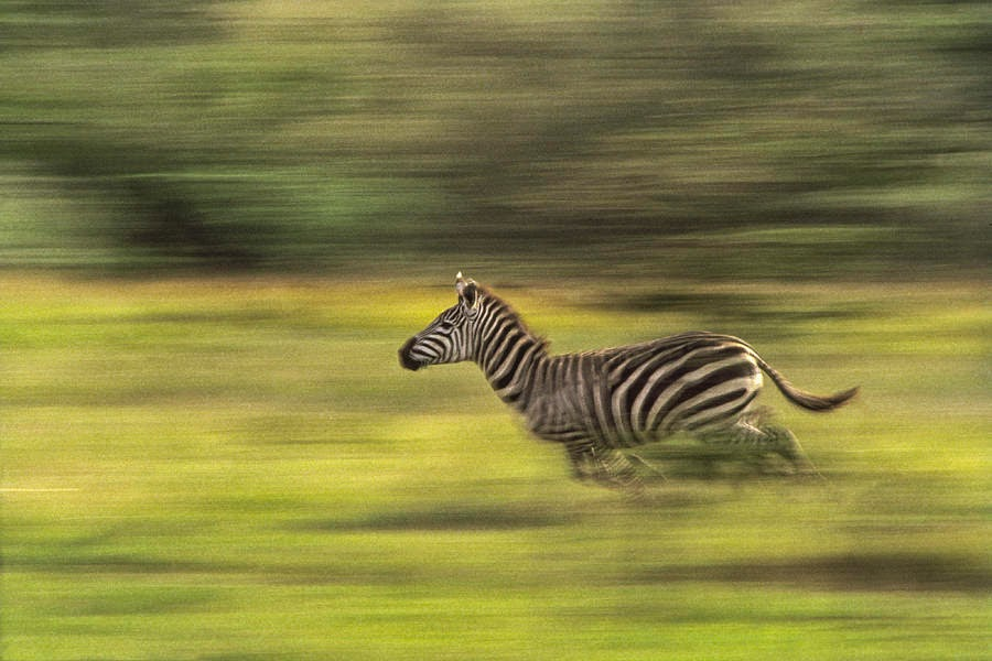 http://images.fineartamerica.com/images-medium-large-5/running-zebra-boyd-norton.jpg
