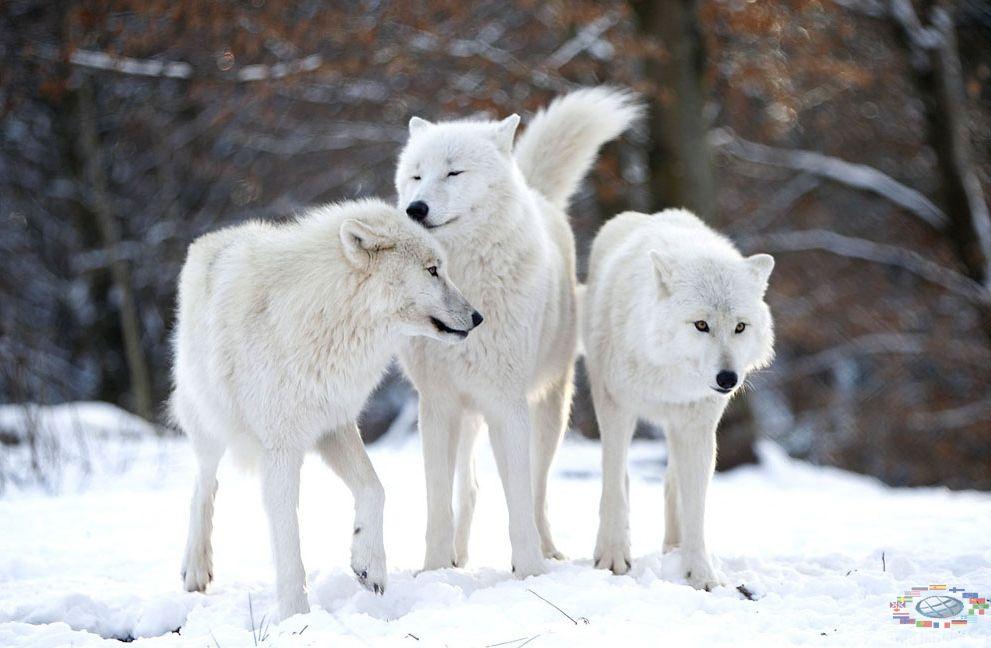 Красный волк Фото и информация про красных волков