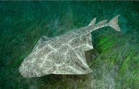Smoothback Αngel Shark - Squatina Oculata