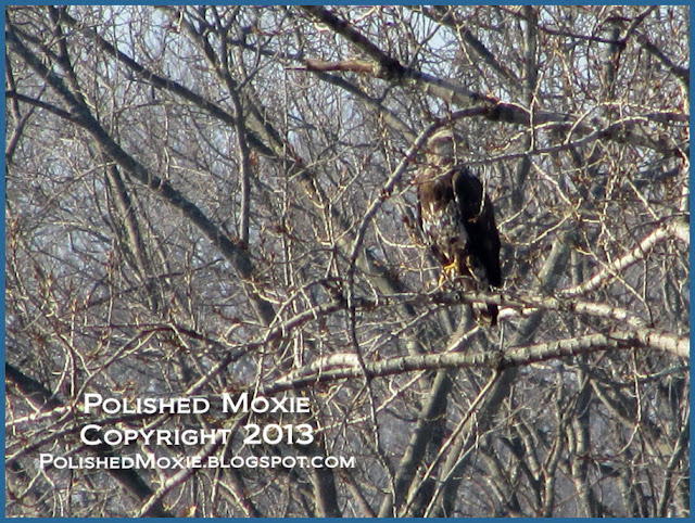 Image of immature bald eagle sitting among branches of a tree.