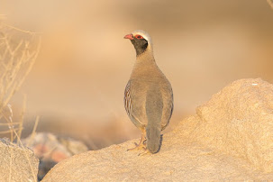 Philby's Partridge (Alectoris philbyi)