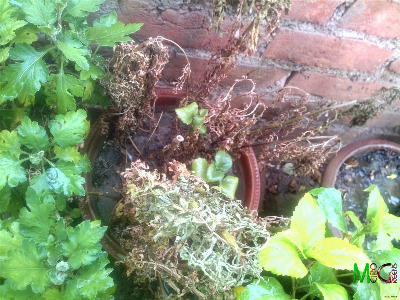 Metro Greens: Dead marigold plants.