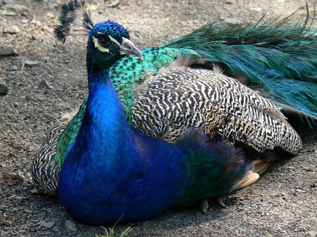 HD Wallpepars: Peacock HD Wallpapers