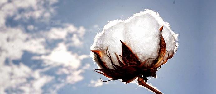 Flor do algodão