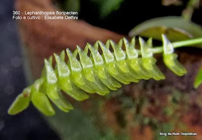 Pleurothallis floripecten,Humboldtia floripecten,Lepanthes secunda,Pleurothallis unilateralis, Lepanthopsis unilateralis,Lepanthopsis secunda.