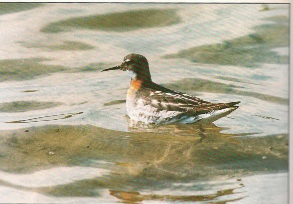 RED NECKED PHALAROPE-FRODSHAM MARSHES-20TH JULY 1996