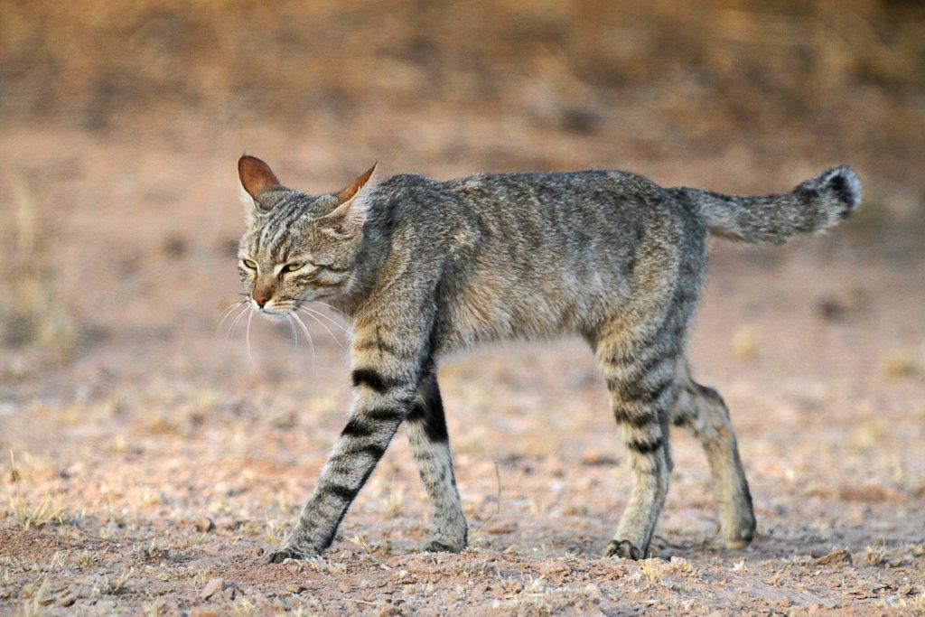 From Which Wild Species Do Domesticated Cats Descend
