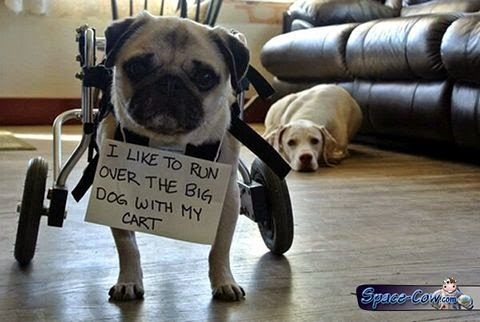 funny animals pug picture