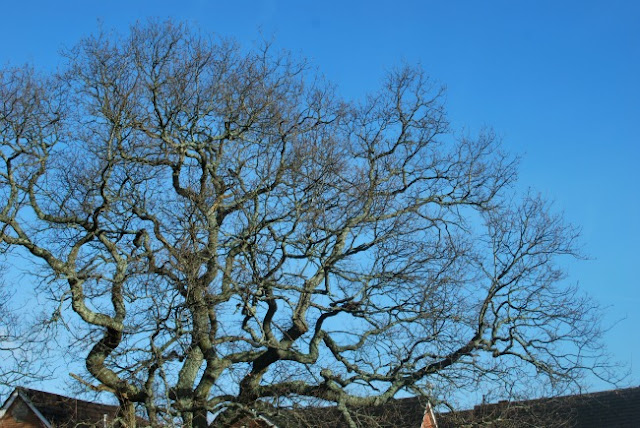 picture of the oak against a blue cloudless sky