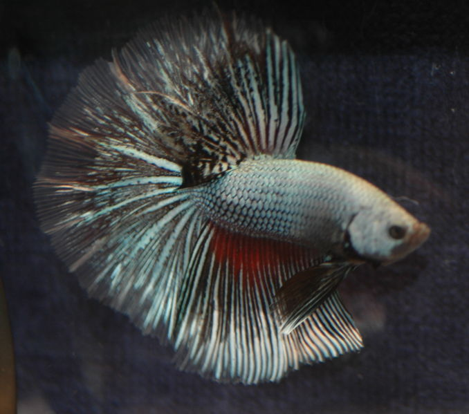 Fighter fish types - photo#15
