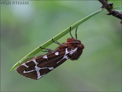 Brūnais lācītis (Arctia caja)