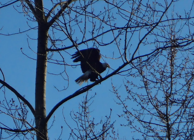 bald eagle in vancouver near bike path