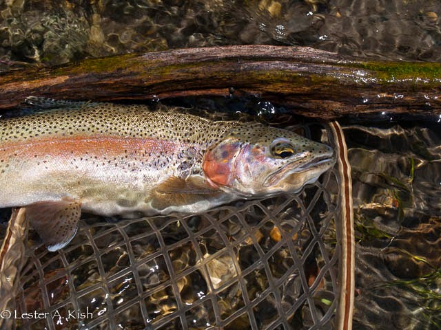 DePuy Spring Creek rainbow trout.