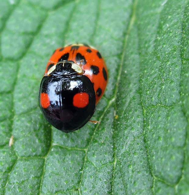 Harlequin ladybird, Harmonia axyridis; two different colour forms mating on a comfrey leaf. High Elms Country Park, 4 June 2011.