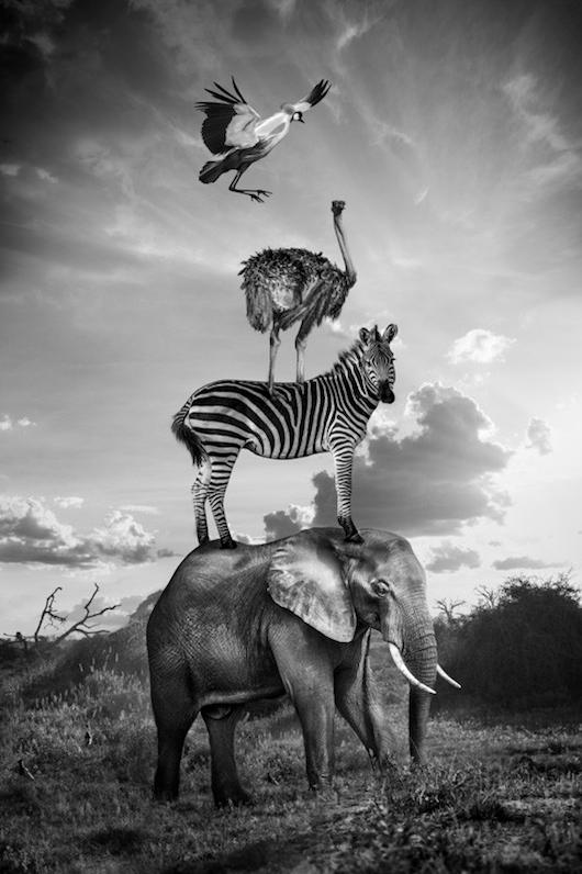 avestruz y cebra encima de elefante