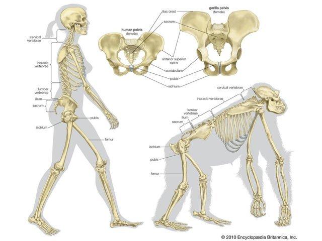尻尾のない類人猿 (人類とゴリラ)