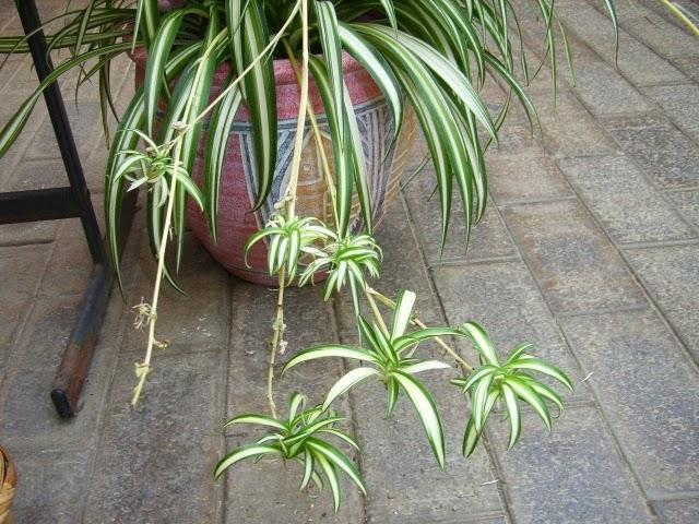 Serendipia plantas de interior que purifican el aire y for Plantas de interior limpian aire