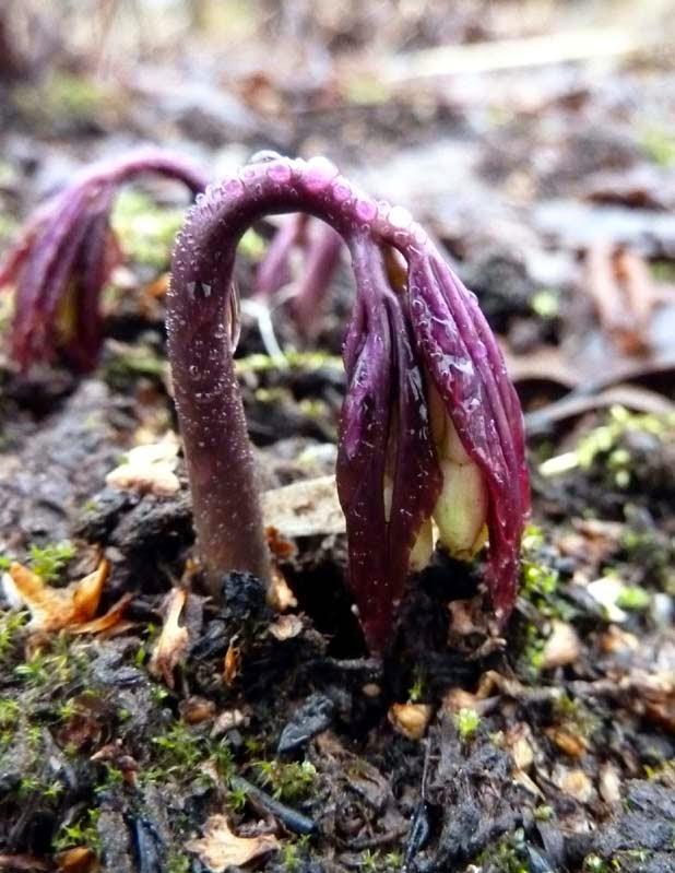 Cardamine enneaphylla 'Danlia'