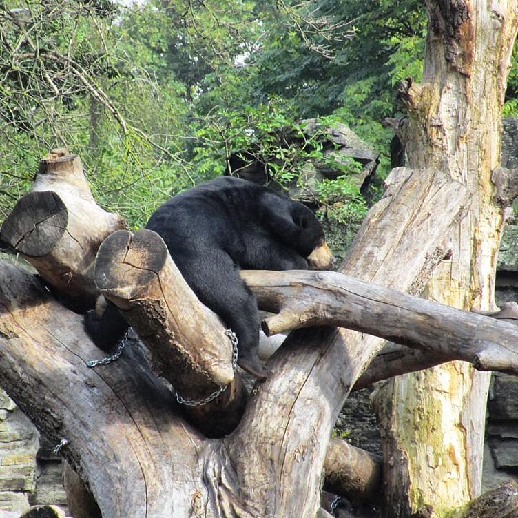 Медведь в кёльнском зоопарке