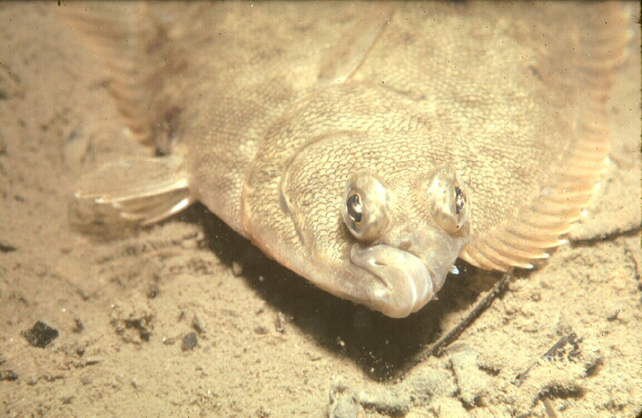 Animal a day winter flounder for Picture of a flounder fish