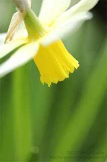 photo-macro-jonquille-narcisse-jaune-fleur-printemps-nature