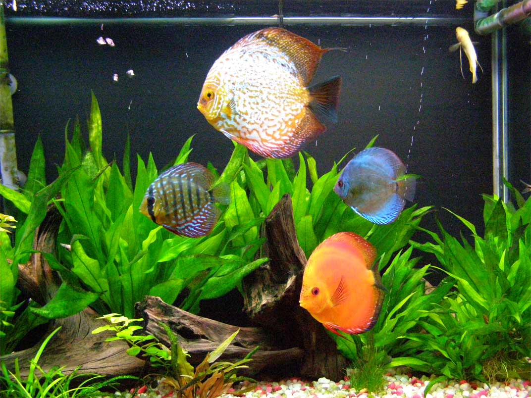 adding discus fish to the aquarium. Black Bedroom Furniture Sets. Home Design Ideas