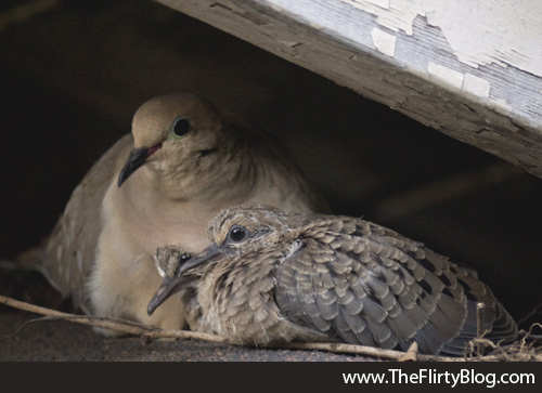 Mother dove, baby doves, chicks