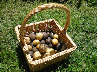 First Harvest of Potatoes