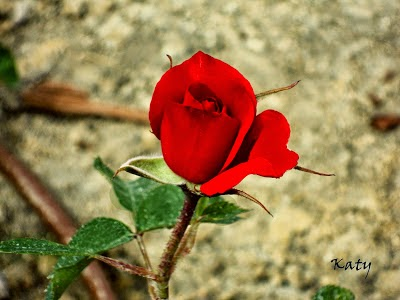 Una rosa con mi cariño para ti.