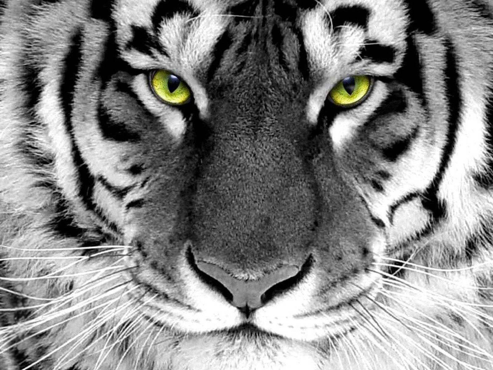 Tiger Wallpaper For Desktop Hd