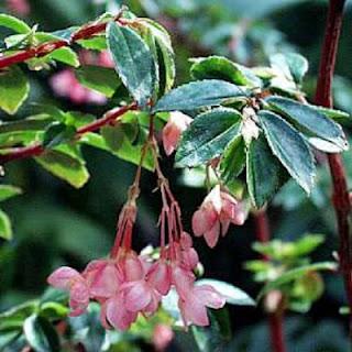Jardineria, Catalogo de Plantas: Begonia fuchsioides
