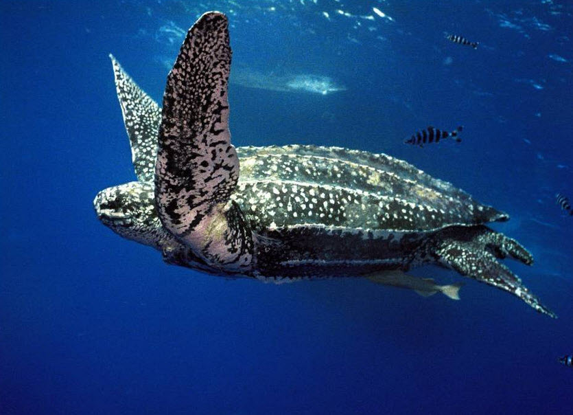 Leatherback sea turtle pictures in the water - photo#1