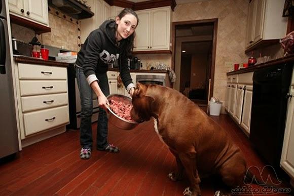 أكبر كلب في العالم