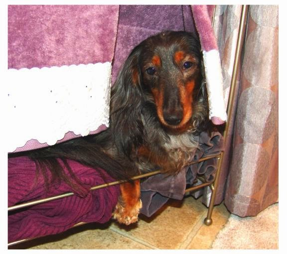 @BatteredHope Rescue Dachshund from abuse and neglect