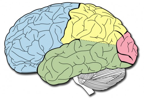 cerebro humano