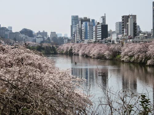 飯田橋カナルカフェの桜02
