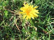 Dandelion  2012/m1