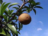 5 Benefits of Sapodilla through Our Body