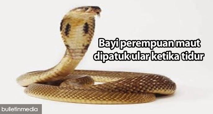 Bayi perempuan maut dipatuk ular tedung ketika sedang tidur